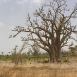 A baobab tree we passed along our way. These trees are thought to be the home of ancestral spirits.