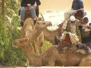 The camels sitting for us to get on