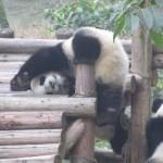 Goofy pandas