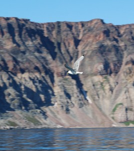 Kittiwakes at Haklyut