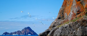 Kittiwakes at Agpa with Conical Island in the Background